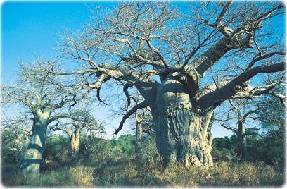 Baobás