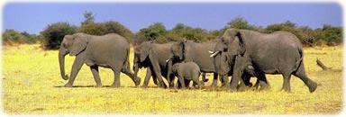 Elefantes africanos - África