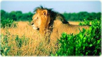 Leão África